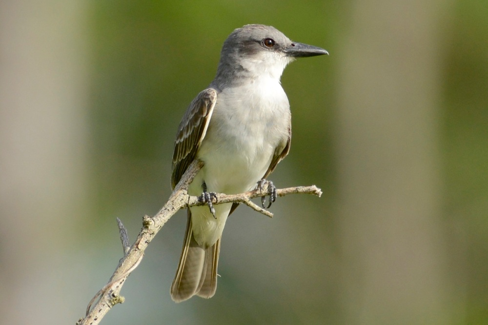 Gray Kingbird, Abaco - Tom Sheley