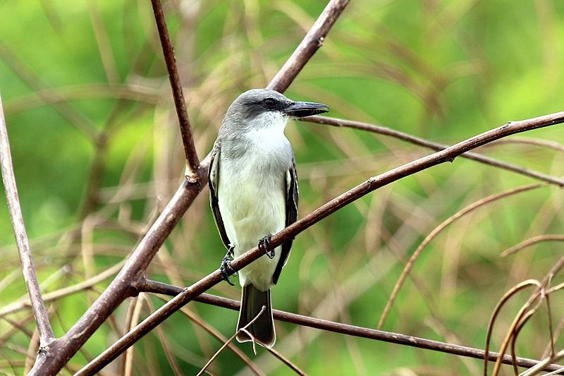 Gray Kingbird (Charlesjsharp Wiki)