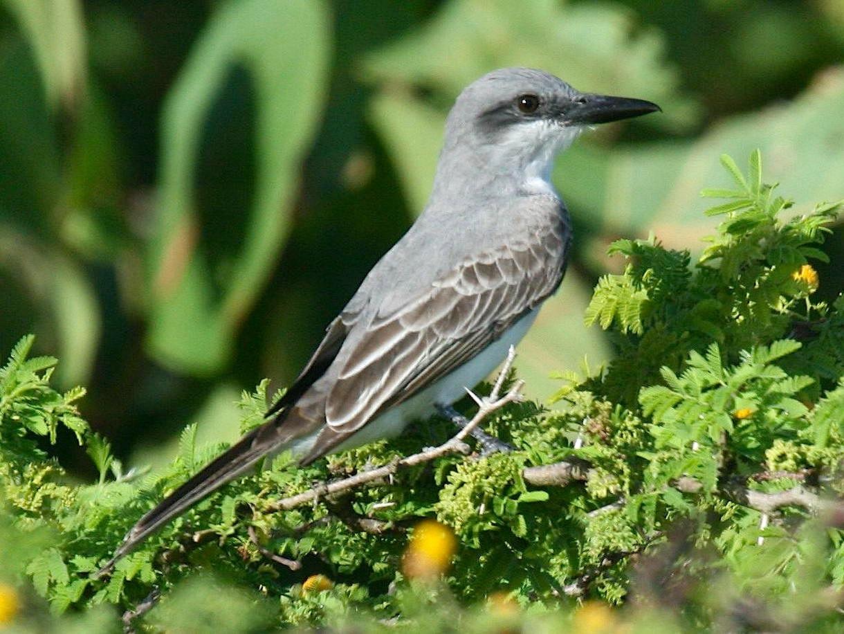 Gray_Kingbird (Dick Daniels Wiki)