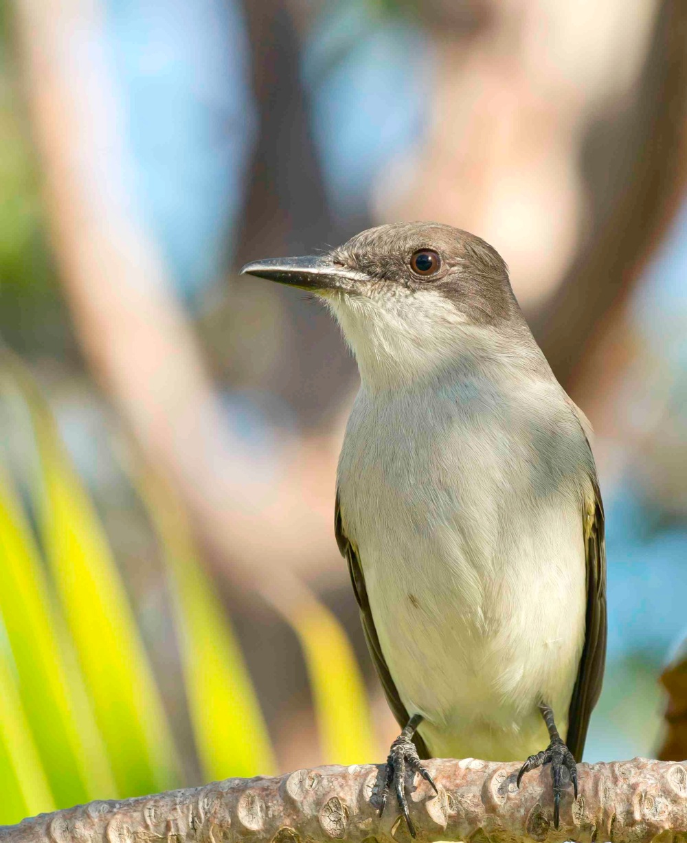 Loggerhead Kingbird.Abaco Bahamas.Tom Sheley