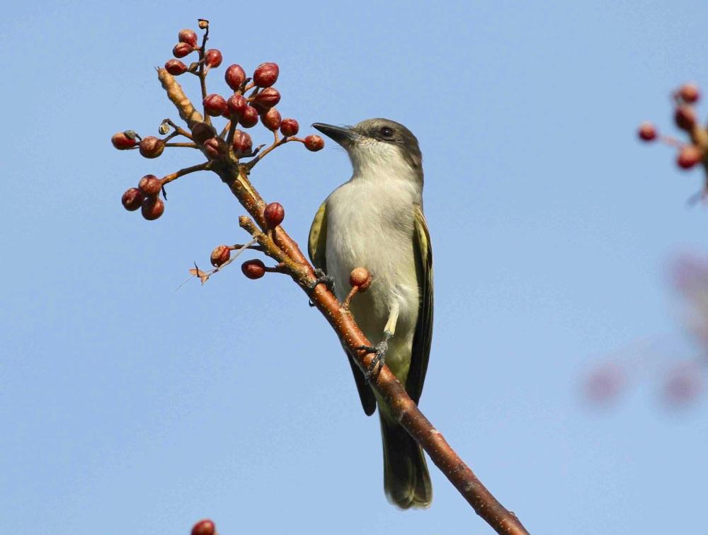 Loggerhead Kingbird, Abaco - Gerlinde Taurer