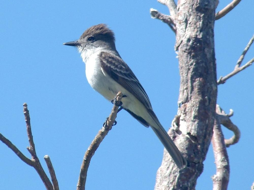 Loggerhead Kingbird, Abaco (Mrs RH) 1