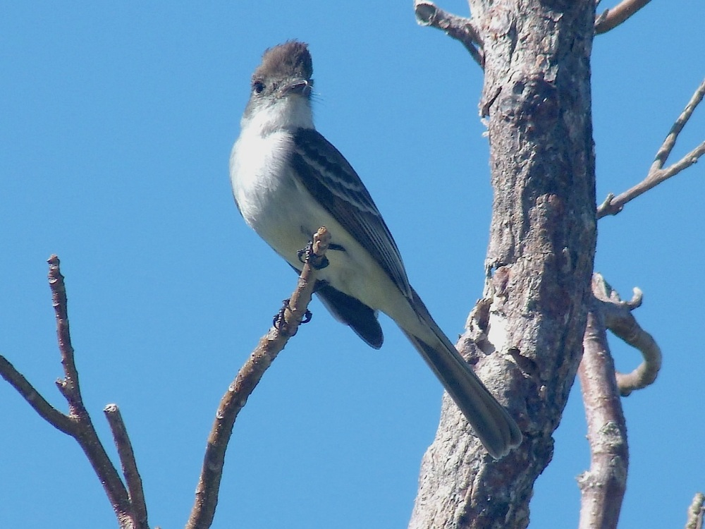 Loggerhead Kingbird, Abaco (Mrs RH) 2