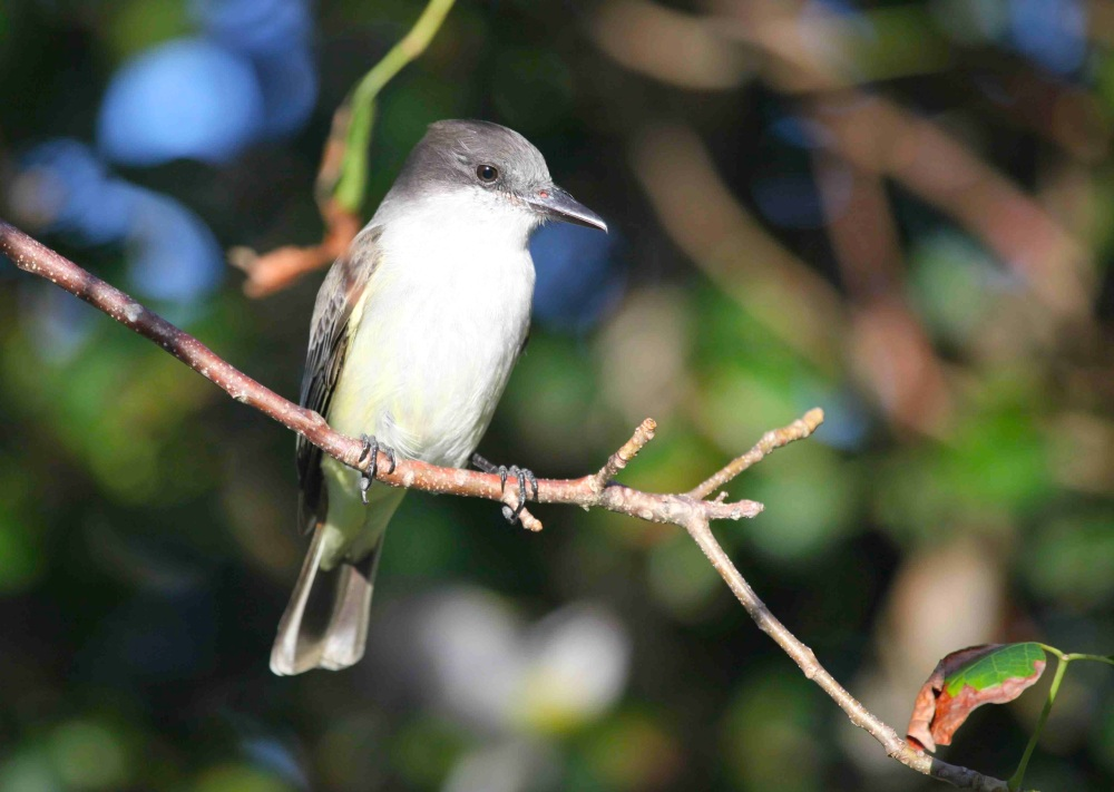 Loggerhead Kingbird Abaco - Peter Mantle