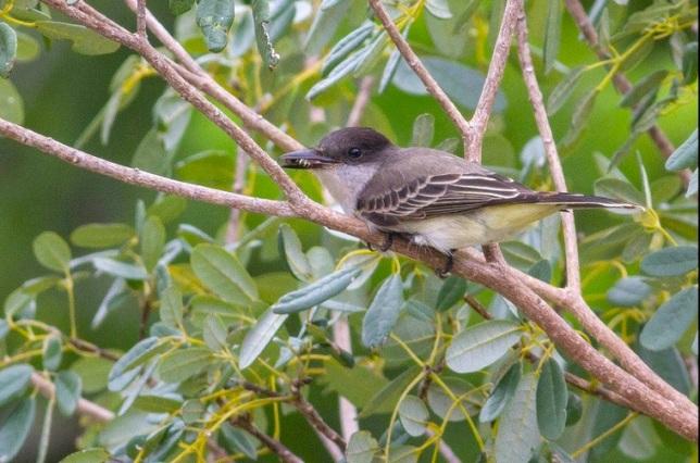 Loggerhead Kingbird, Abaco - Tom Reed