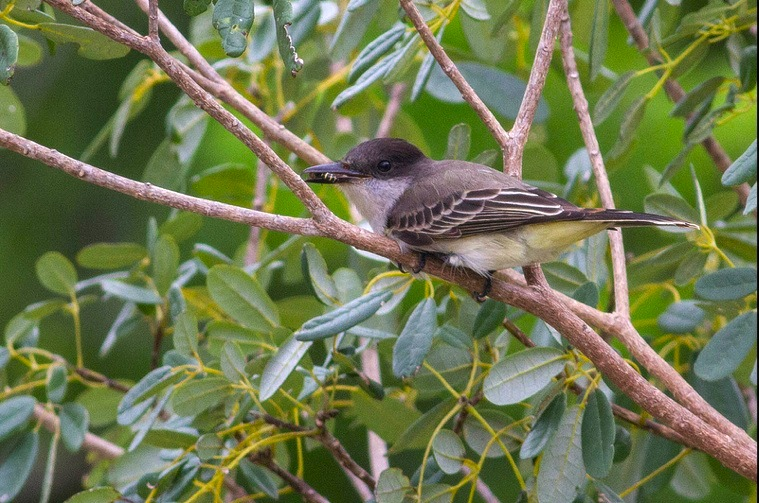 Loggerhead Kingbird, Abaco - Tom Reed