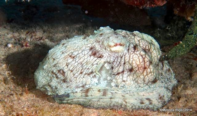 Octopus Sleeping ©Melinda Riger @ GB Scuba