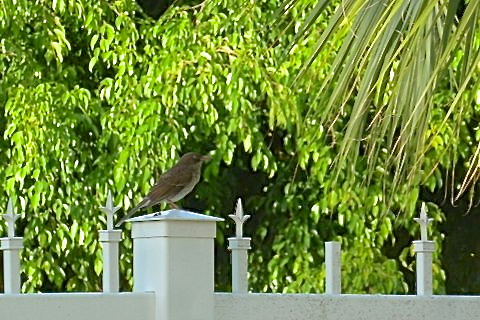 Pearly-eyed Thrasher, Treasure Cay, Abaco - Woody Bracey (new species for Abaco)