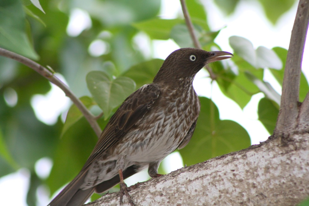 Pearly_Eyed_Thrasher,_Margarops_fuscatus (Kati Fleming Wiki)