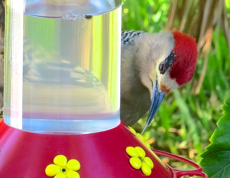 West Indian Woodpecker (male) at Hummer Feeder, Delphi, Abaco