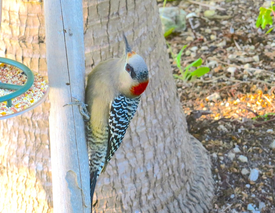 West Indian Woodpecker (female) at Hummer Feeder, Delphi, Abaco