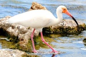 White Ibis, Bahamas (Tony Hepburn)