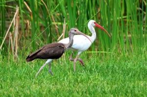 White Ibis (adult & juvenile), Bahamas (Tony Hepburn)