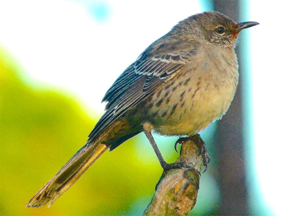 Bahama Mockingbird (variant) Abaco 06