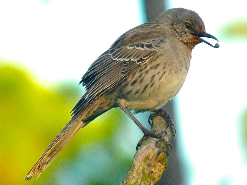 Bahama Mockingbird (variant) Abaco 07