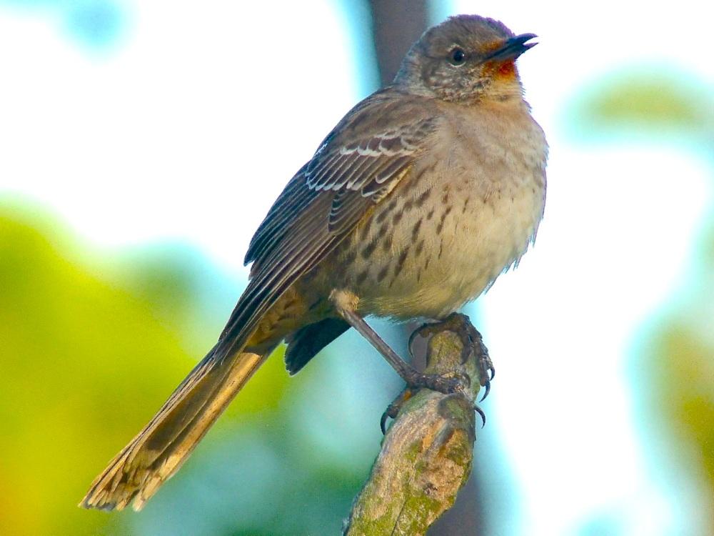 Bahama Mockingbird (variant) Abaco 09
