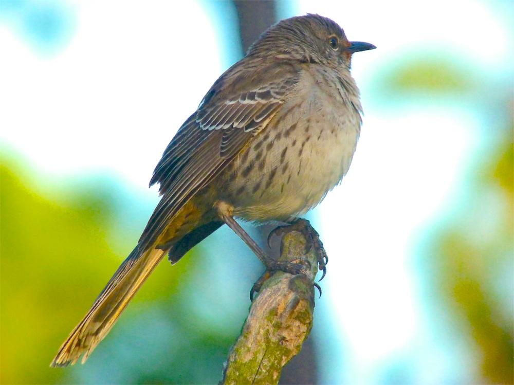 Bahama Mockingbird (variant) Abaco 10
