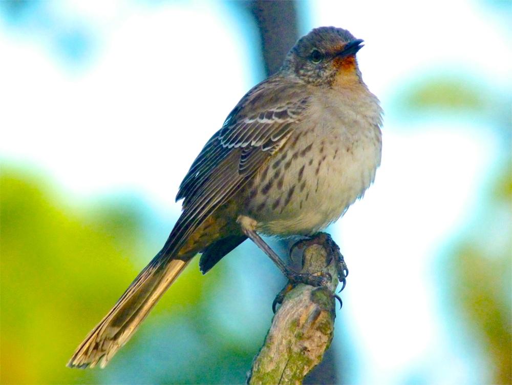 Bahama Mockingbird (variant) Abaco 11