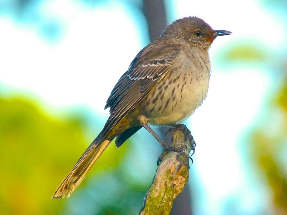 Bahama Mockingbird (variant) Abaco 13