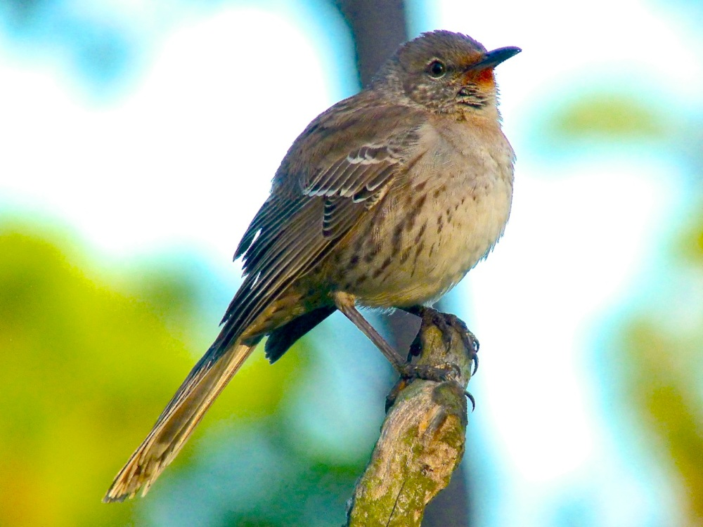 Bahama Mockingbird (variant) Abaco 14