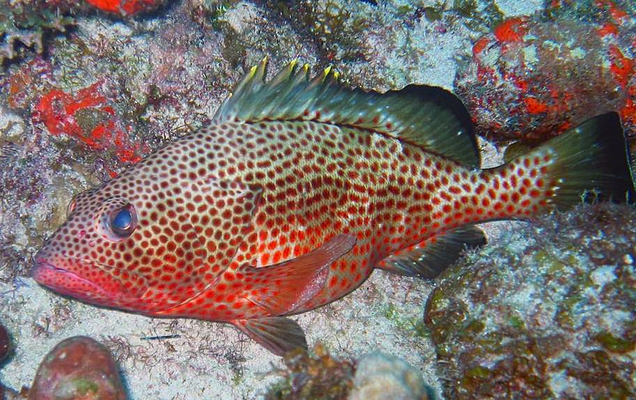 Red hind grouper bahamas reef fish 25 rolling harbour for Red saltwater fish