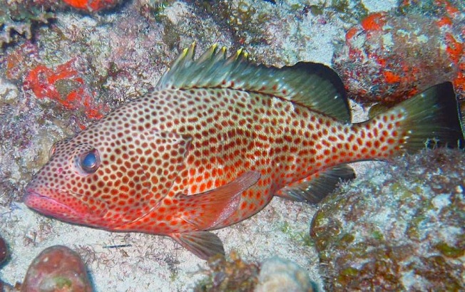 Female spawning Red Hind Grouper (Univ of Puerto Rico:NOAA)