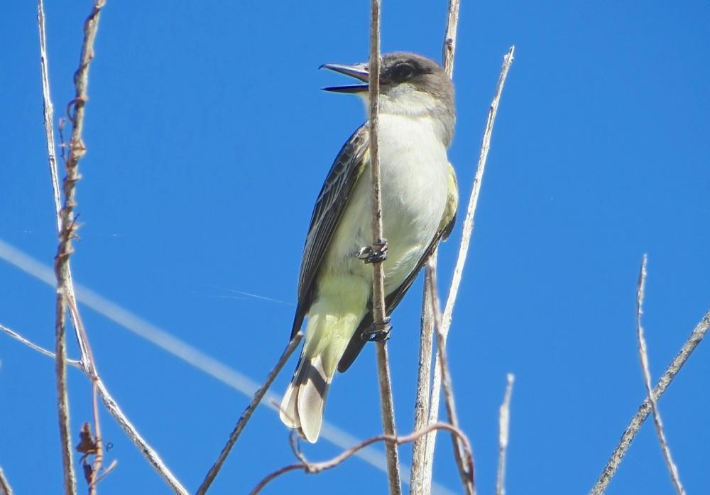 Loggerhead Kingbird, Abaco (Mrs RH)