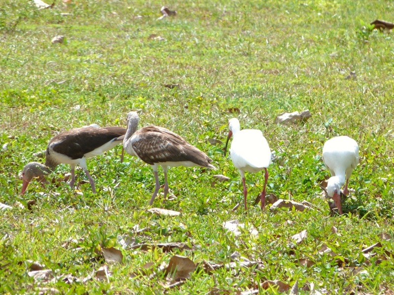 White Ibises (adult & juvenile), Sandy Point, Abaco (Keith Salvesen)