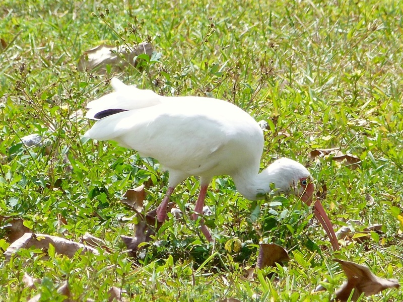 White Ibis, Sandy Point, Abaco (Keith Salvesen)