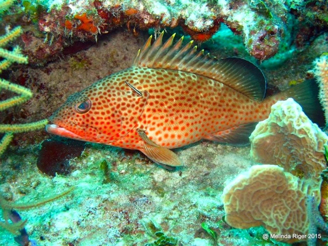 Red Hind Grouper ©Melinda Riger @ G B Scuba copy 2