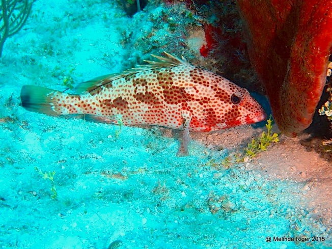 Red Hind Grouper ©Melinda Riger @ G B Scuba copy 3