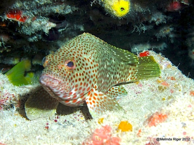 Red Hind Grouper ©Melinda Riger GB Scuba copy