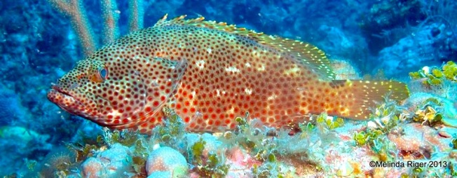 Red Hind Grouper Melinda Riger @ G B Scuba copy