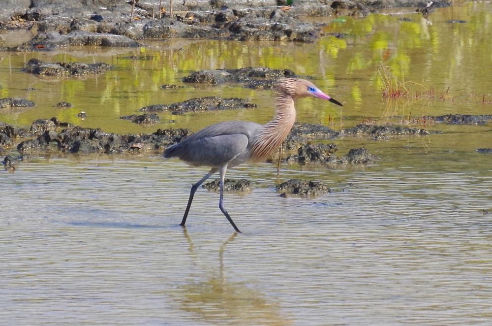Reddish Egret,  Abaco, Bahamas (Keith Salvesen)