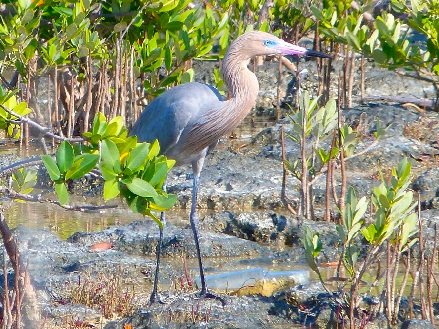 Reddish Egret, Crossing Rocks, Abaco (Keith Salvesen)01
