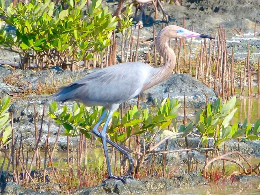 Reddish Egret, Crossing Rocks, Abaco (Keith Salvesen)02