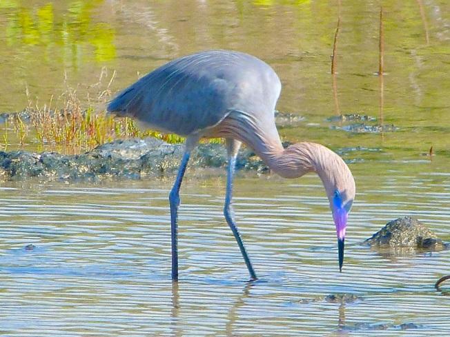 Reddish Egret, Crossing Rocks, Abaco (Keith Salvesen)05
