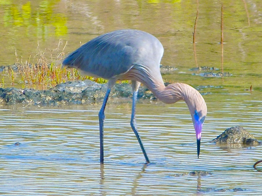 Reddish Egret, Crossing Rocks, Abaco (Keith Salvesen)05