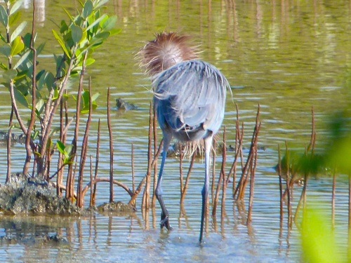 Reddish Egret, Crossing Rocks, Abaco (Keith Salvesen)06