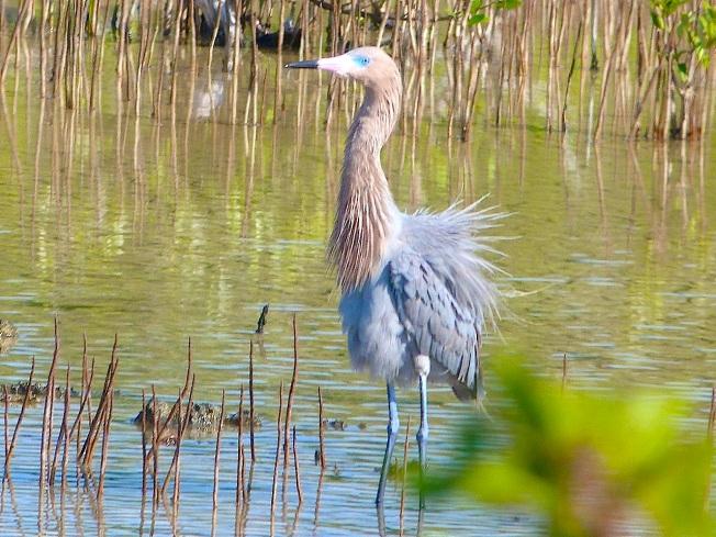 Reddish Egret, Crossing Rocks, Abaco (Keith Salvesen)07