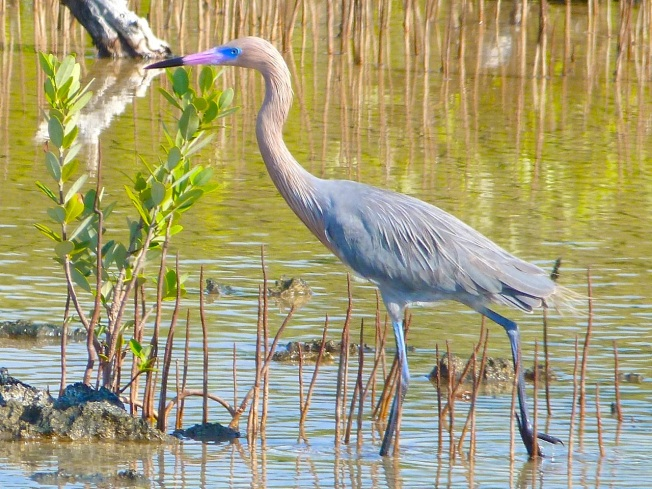 Reddish Egret, Crossing Rocks, Abaco (Keith Salvesen)09