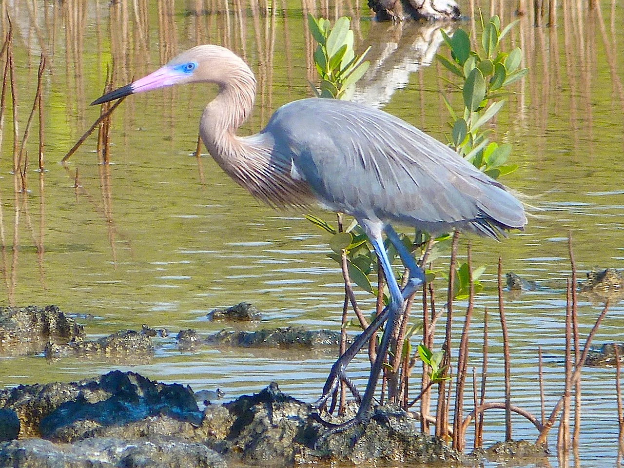 Reddish Egret, Crossing Rocks, Abaco, Bahamas - Keith Salvesen / Rolling Harbour