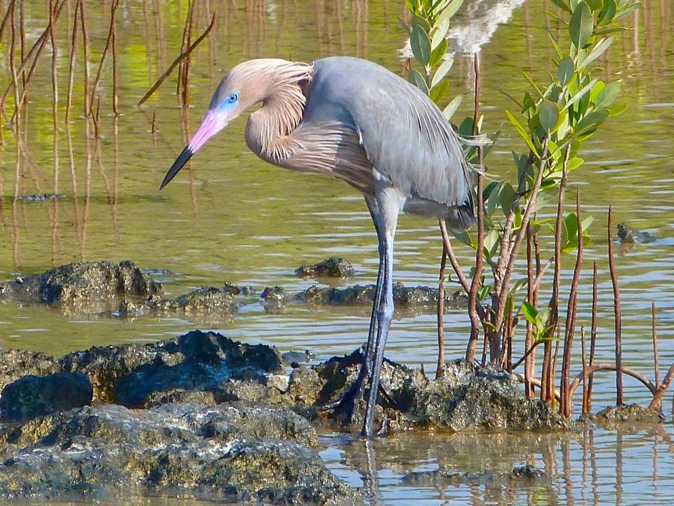 Reddish Egret, Crossing Rocks, Abaco, Bahamas (Keith Salvesen)