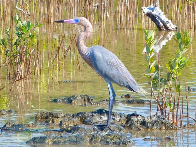 Reddish Egret, Crossing Rocks, Abaco (Keith Salvesen)13