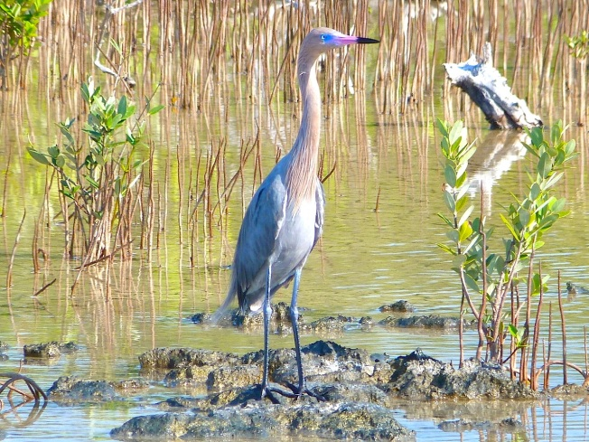 Reddish Egret, Crossing Rocks, Abaco (Keith Salvesen)14