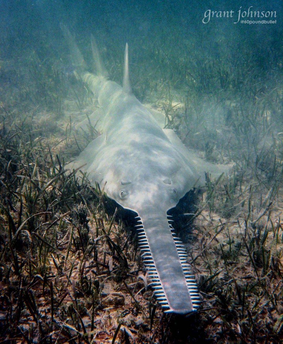 sawfish-biminis-marine-pa-campaign-grant-johnson