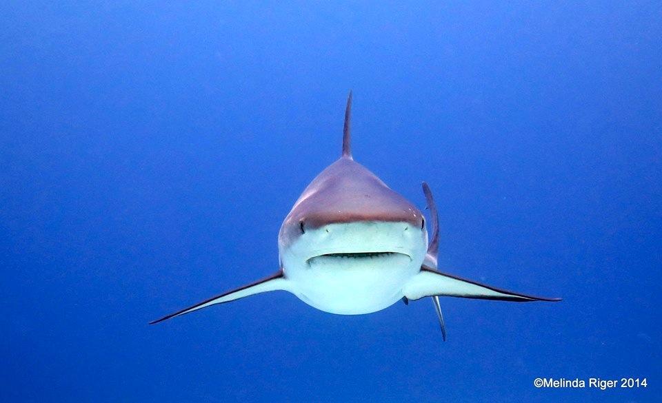 Shark 2 ©Melinda Riger @ G B Scuba copy 2