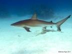 Shark 4 ©Melinda Riger @ G B Scuba copy