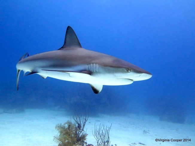 Blacktip Shark ©Virginia Cooper @ G B Scuba copy 2