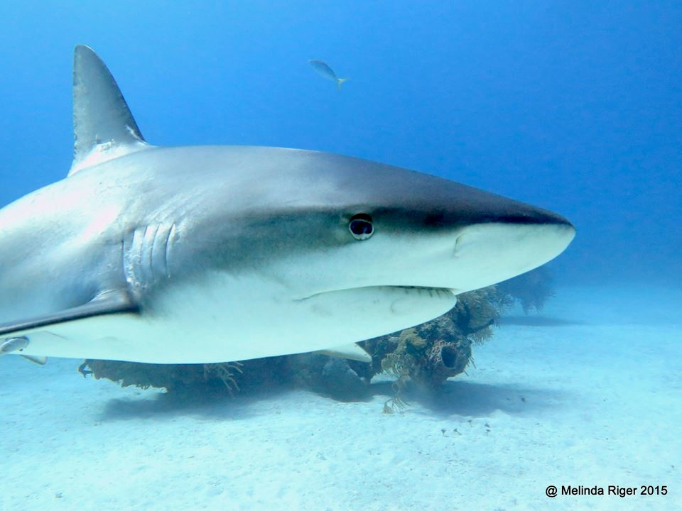 Shark © Melinda Riger @ G B Scuba copy 2